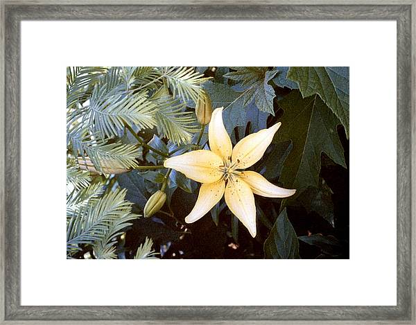 Pastel Yellow Lily Framed Print