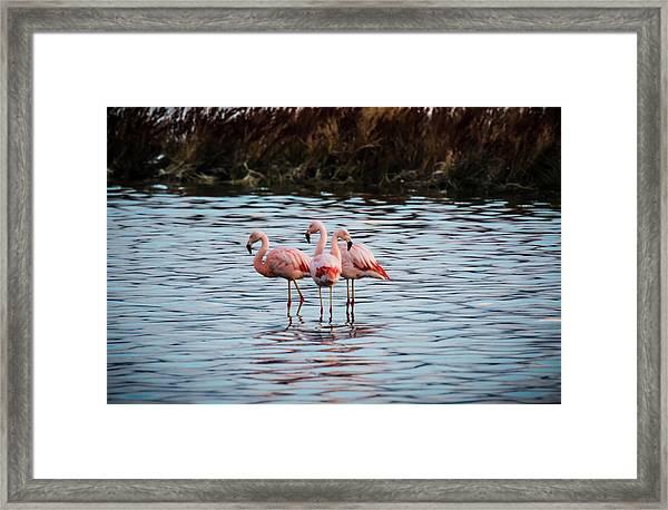 Patagonia Flamingoes Framed Print