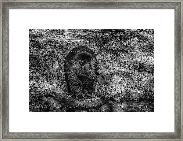 Patient Black Bear Framed Print