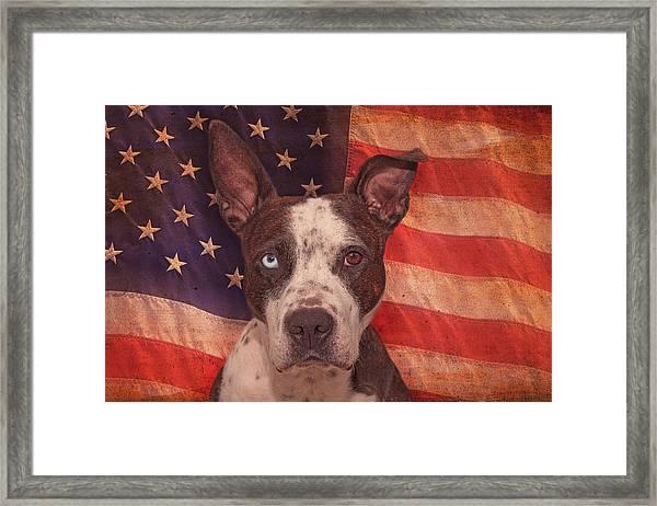 Patriotic Pit Bull  Framed Print