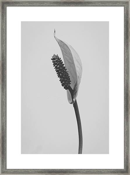 Peace Lily #3  Framed Print