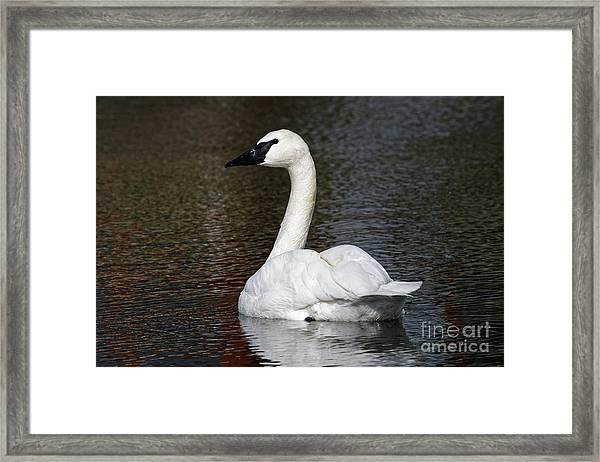 Peaceful Swan Framed Print