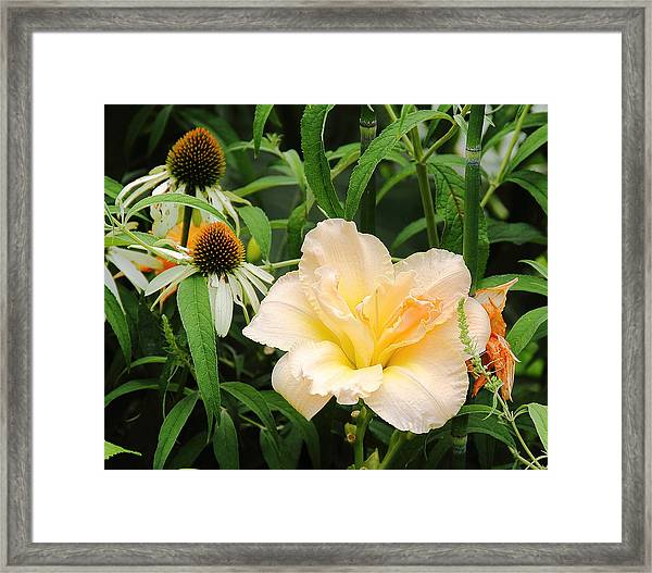 Peach Day Lily Framed Print