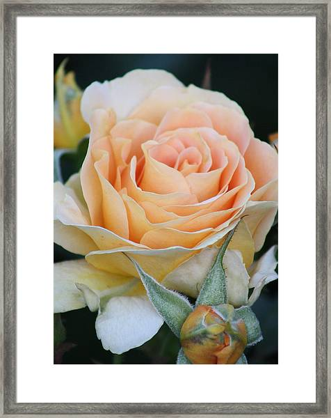Peach Rose 2 Framed Print