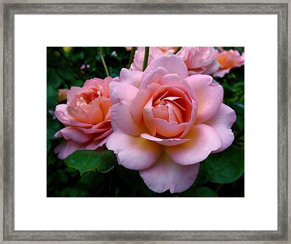 Peachy Pink Framed Print