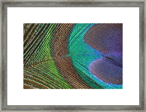 Peacock Feather Close Up Framed Print