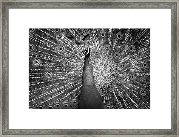 Peacock In Black And White Framed Print