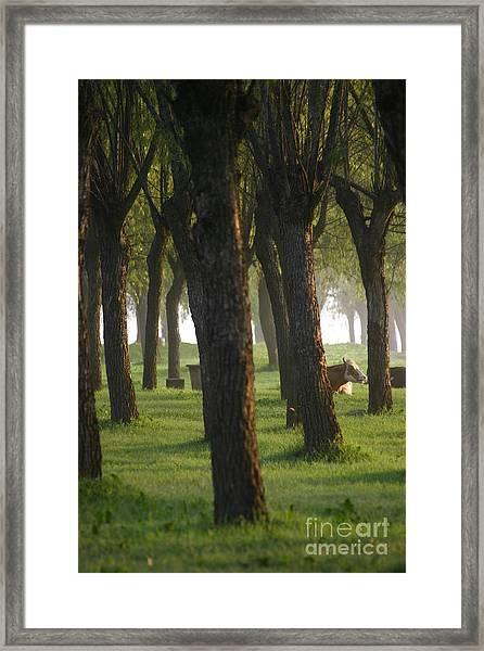 Peek A Cow Framed Print