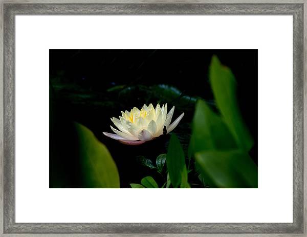 Peekaboo Lemon Water Lily Framed Print