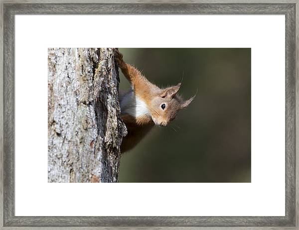 Peekaboo - Red Squirrel #29 Framed Print