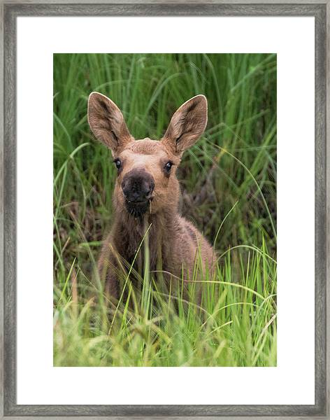 Peeking Baby Moose Framed Print