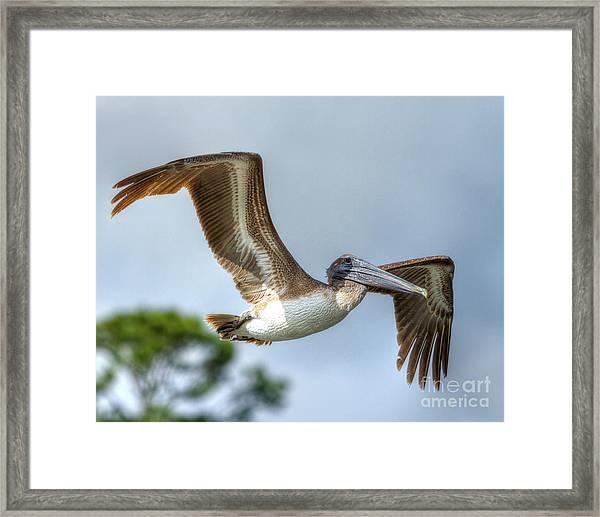 Pelican-4443 Framed Print