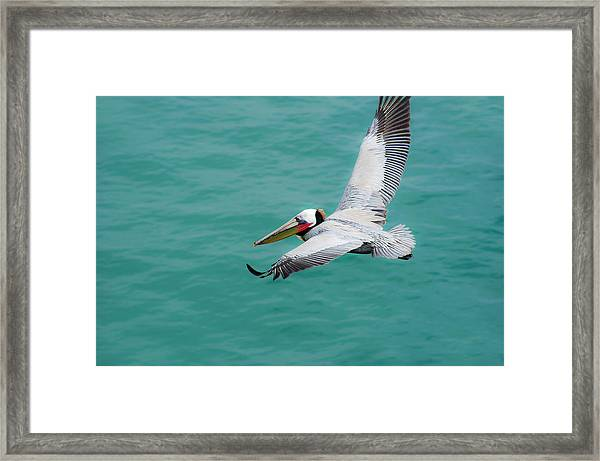 Pelican Beautiful Framed Print