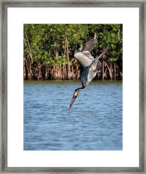 Pelican Dive Framed Print