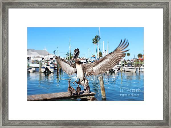 Pelican Flying In Framed Print