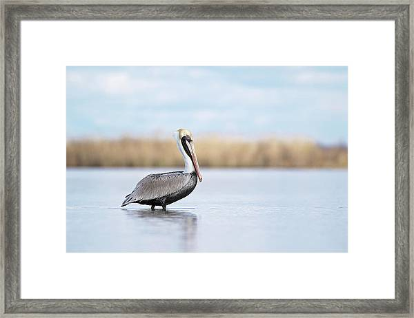 Pelican In Paradise Framed Print