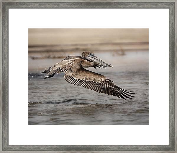 Pelican In The Air Framed Print