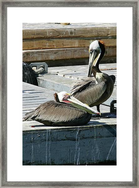Pelican On The Dock Framed Print