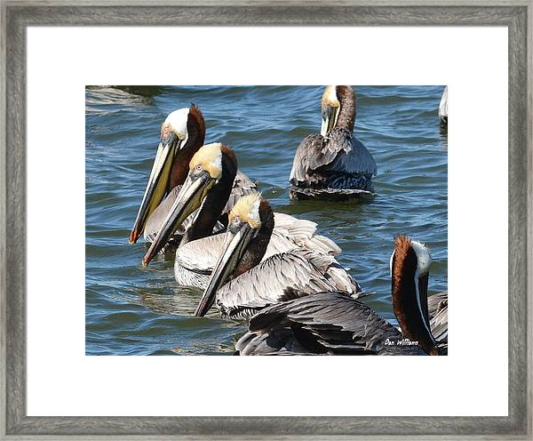 Pelican Profiles Framed Print