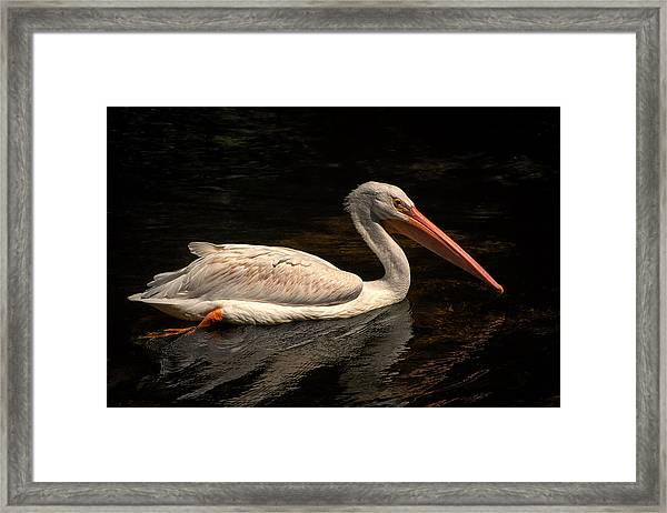 Pelican Swimming In Salisbury Framed Print