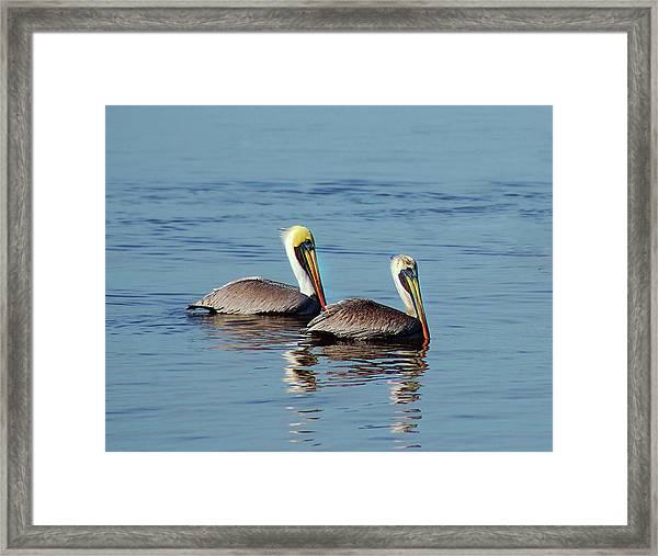 Pelicans 2 Together Framed Print