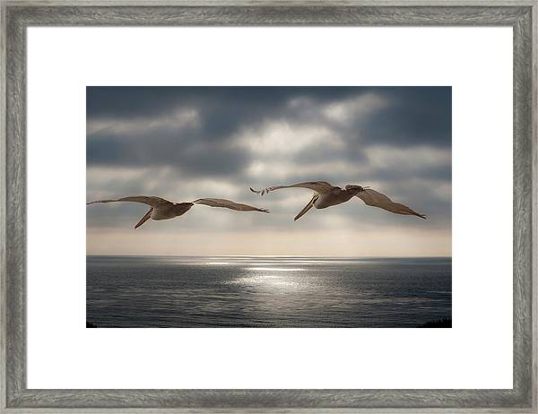 Pelicans At Sea Framed Print