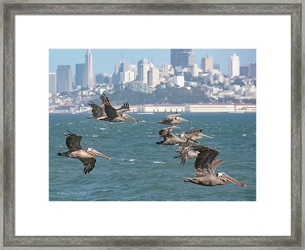 Pelicans Over San Francisco Bay Framed Print