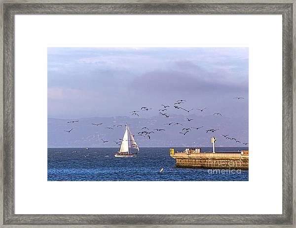 Pelicans Pelicans Framed Print