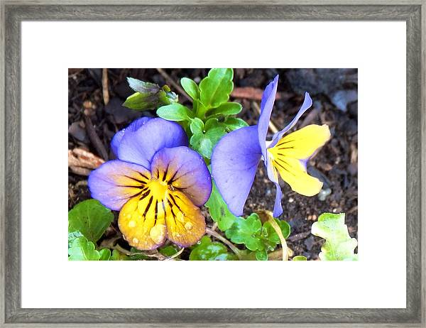 Pensees Bicolores Framed Print
