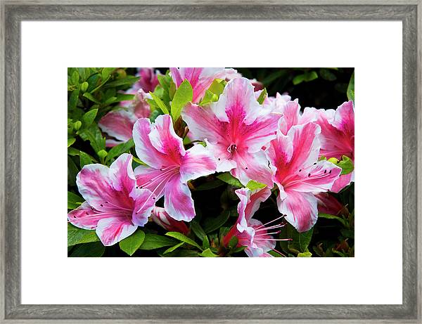 Peppermint Candy Framed Print
