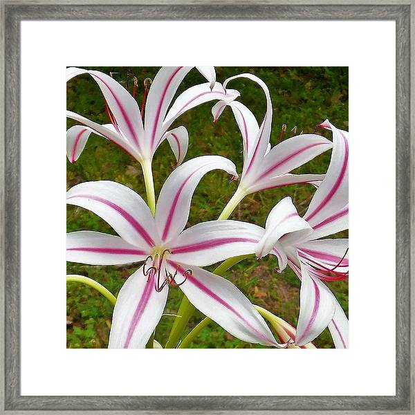 Peppermint Lilies Framed Print