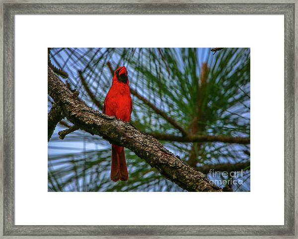 Framed Print featuring the photograph Perched Cardinal by Tom Claud