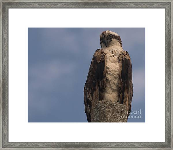 Perched Hawk Framed Print