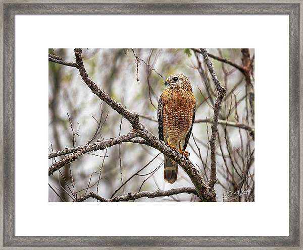 Framed Print featuring the photograph Perched Red Shouldered Hawk by David A Lane