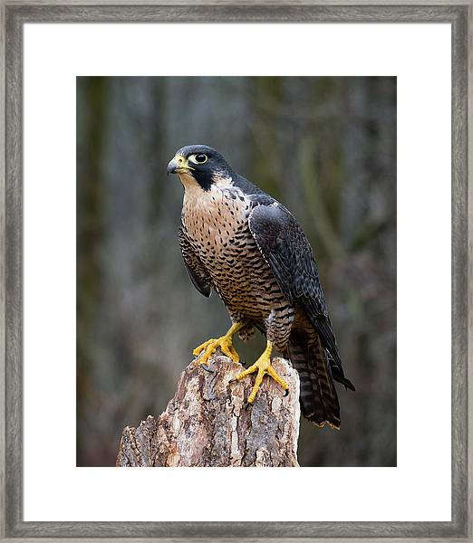 Perching Peregrine Framed Print