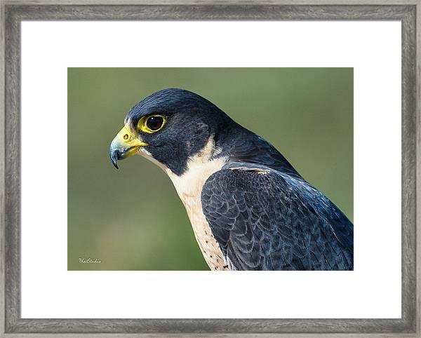 Peregrin Falcon Framed Print