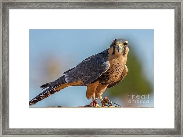 Peregrine Falcon Wildlife Art By Kaylyn Franks Framed Print