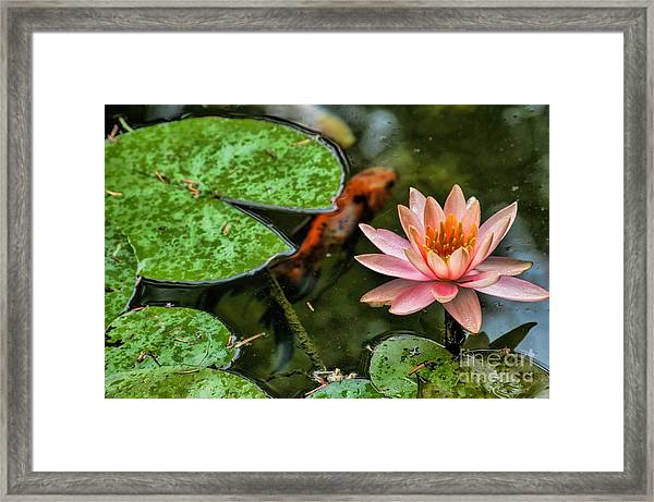 Perfect Beauty And Koi Companion Framed Print