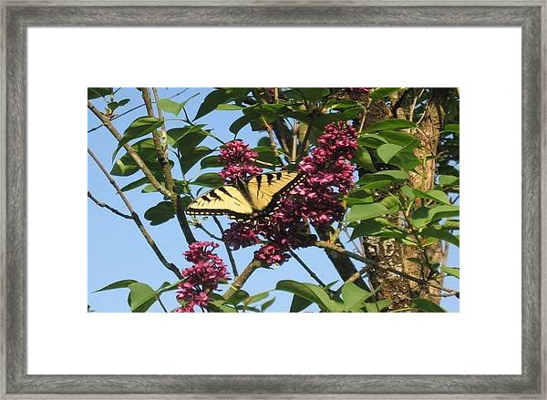 Yellow Swallowtail And Lilac Framed Print