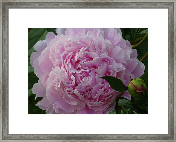 Perfection In Pink Framed Print