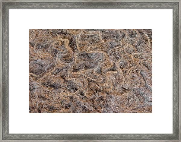 Peruvian Burro Curls Framed Print