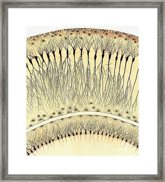 Pes Hipocampi Major Santiago Ramon Y Cajal Framed Print