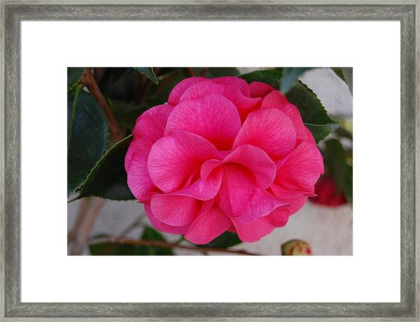 Petal Perfect Framed Print by Helen Carson