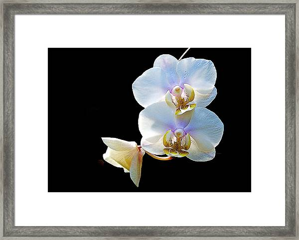 Phalaenopsis Culican #1 Nobby's Amy Shin Hua Framed Print