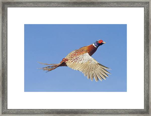 Pheasant Wings Framed Print