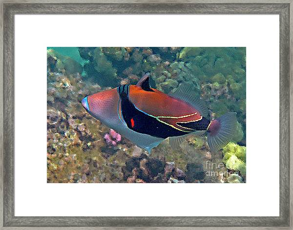 Picasso Triggerfish Up Close Framed Print