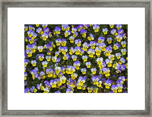 Pick Me-pansies Framed Print