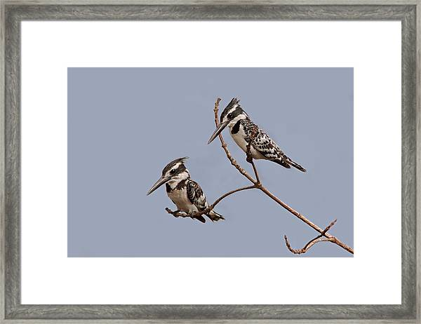 Pied Kingfisher Pair Framed Print