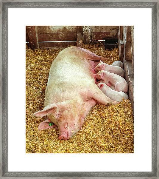 Piglet Feeding Time Framed Print