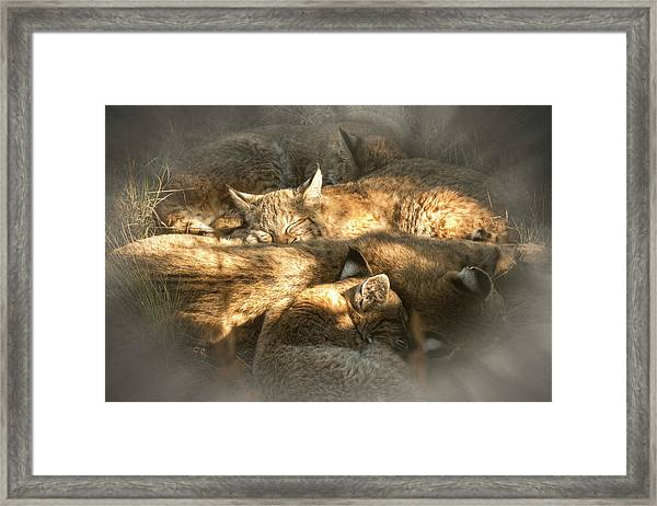 Pile Of Sleeping Bobcats Framed Print